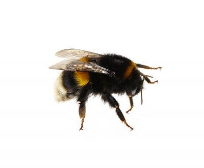 bumblebee on the white