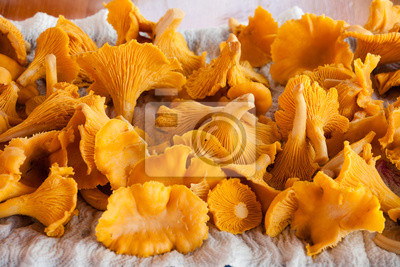 bunch chanterelle drying on a piece of paper