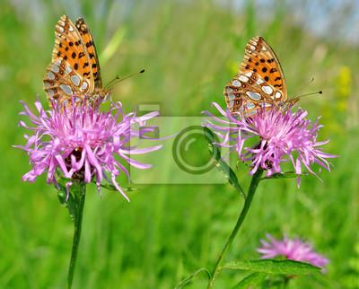 Butterflies Fabriciana aglaia sitting on a flower