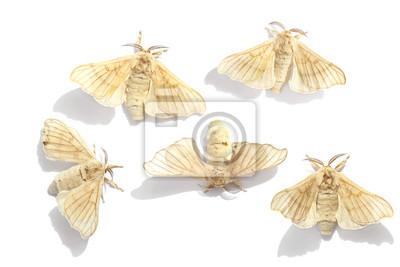Butterflies of a silkmoth