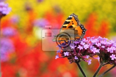 Wall mural butterfly urticaria in profile sitting on flower heliotrope