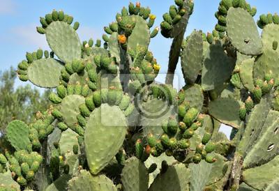 cactus ...figuier de barbarie