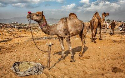 Wall mural Camels at Pushkar Mela Camel Fair,  India