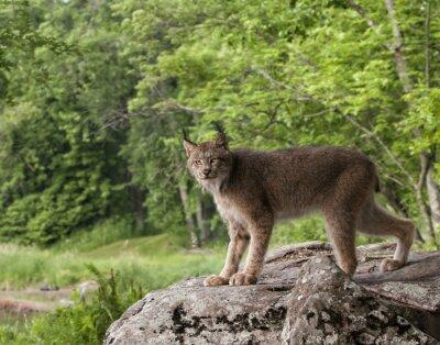 Canada Lynx Posing on a Boulder
