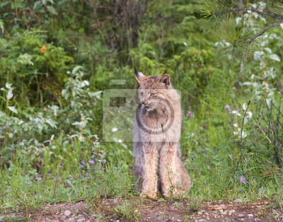 Canadian Lynx at the edge of the woods