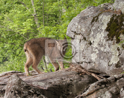 Canadian Lynx on Boulder