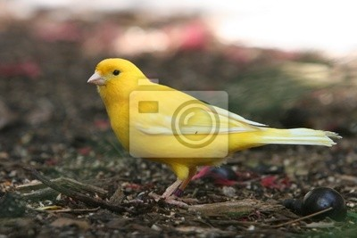 CANARY EXOTIC