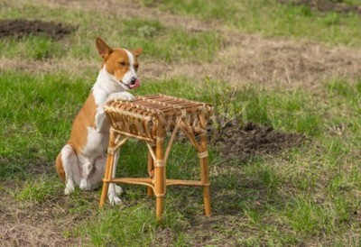 Wall mural Canine rest in a garden - smart basenji dog shows silly master where to put plate with canine lunch