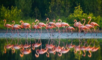 Wall mural Caribbean flamingo standing in water with reflection. Cuba. An excellent illustration.