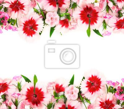 Carnation flowers on white background.