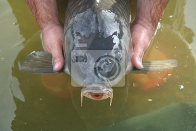 Carp in the water from above