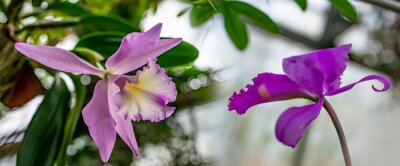 cattleya orchid in the glasshouse