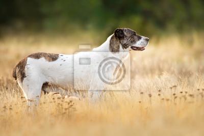 Central Asian Shepherd Dog standing in field