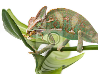 Chamaeleo calyptratus, eating cricket
