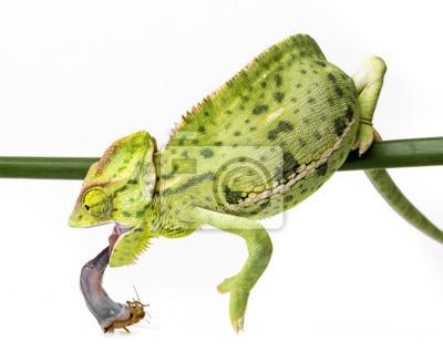 Chamaeleo calyptratus, female eating cricket