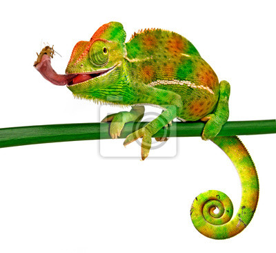 Wall mural Chamaeleo calyptratus, female, isolated on a white background