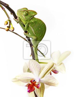 chameleon - Chamaeleo calyptratus