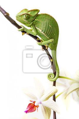 chameleon - Chamaeleo calyptratus and orchid
