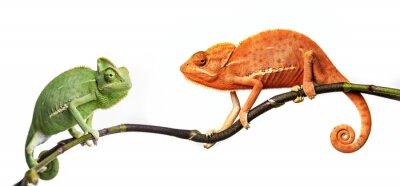 chameleon - Chamaeleo calyptratus on a branch