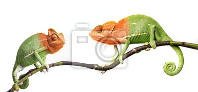 Wall mural chameleon - Chamaeleo calyptratus on a branch