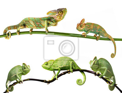 chameleon - Chamaeleo calyptratus on a branch, females and males