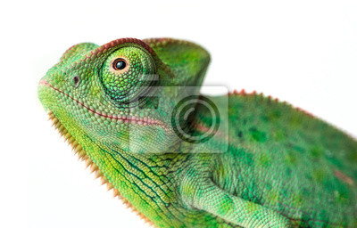 chameleon - Chamaeleo calyptratus on a branch isolated on white