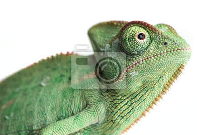 Wall mural chameleon - Chamaeleo calyptratus on a branch isolated on white