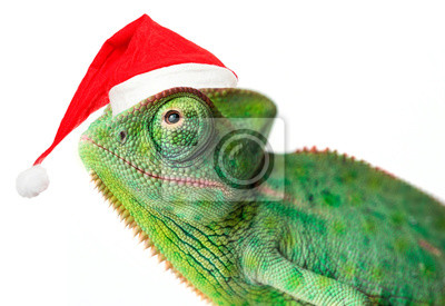 Wall mural chameleon - Chamaeleo calyptratus on a branch with santa cap isolated on white