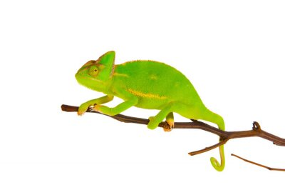 Wall mural Chameleon on a branch