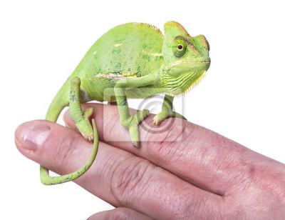 chameleon on a finger