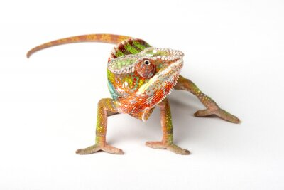 Wall mural Chameleon on a white background