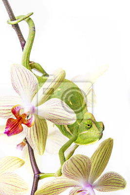 chameleon on an orchid