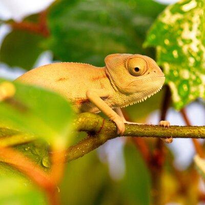 Wall mural chameleons