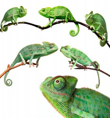 Wall mural chameleons - Chamaeleo calyptratus on a branch isolated on white