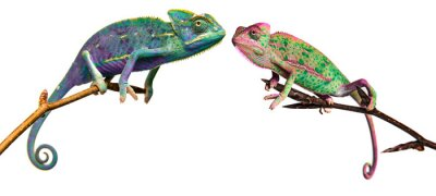 Wall mural chameleons in unusual colors on a branch isolated on white