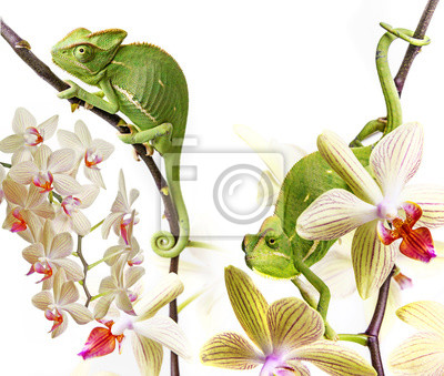 chameleons on an orchids