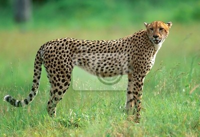 Cheetah in National park of South Africa
