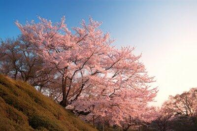 Wall mural Cherry Blossoms at Kiyomizu-dera, Kyoto, Japan
