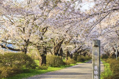 Wall mural Cherry blossoms bloom path, Kitakami City, Iwate