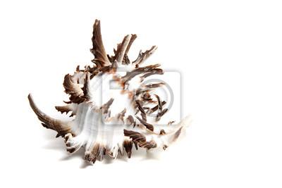 chicoreus chicoreum