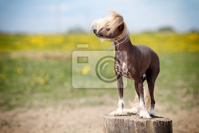 Chinese crested dog stand on stamp in field