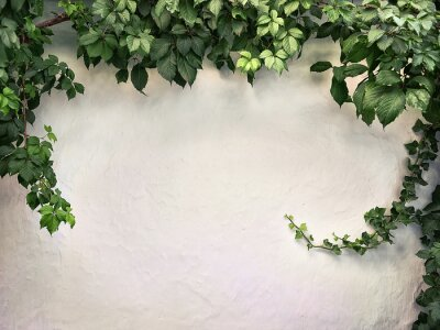 Wall mural climbing plant on the white plaster walls