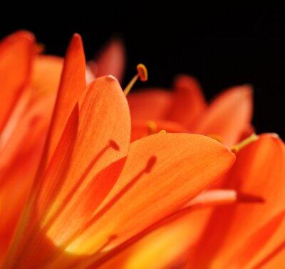 clivia tropical flower macro
