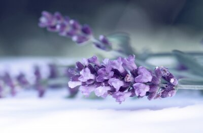 Wall mural Cloce up of lavender flower