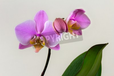 Wall mural Close-up of pastel orchid flower. Zen in the art of flowers. Macro photography of nature.
