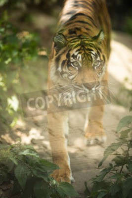 Wall mural Closeup of a Siberian tiger also know as Amur tiger (Panthera tigris altaica), the largest living cat
