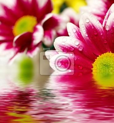 Wall mural Closeup of pink daisy-gerbera  reflected in the water