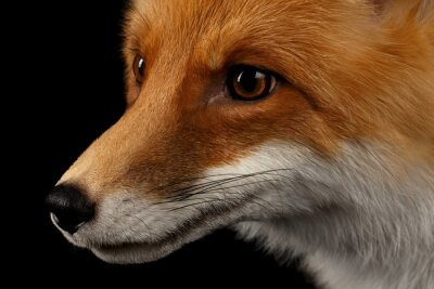 Wall mural Closeup Portrait of Red Fox in Profile Isolated on black