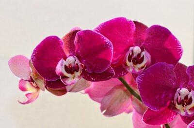 Wall mural closeup purple orchide