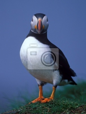 Clouse-up puffin in Grimsey island of Island